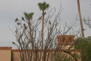 11 White-winged Doves sitting in an ocotillo