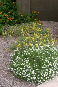 Front to back: Angelita Daisy, Chocolate Flower, and Yellow Trailing Lantana