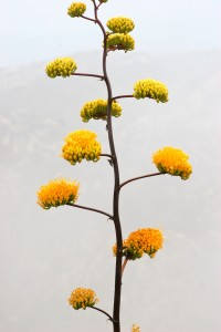 One of many flowering agaves