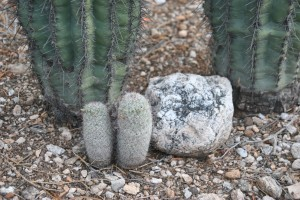 Two Pin Cushions at the base of two Saguaros